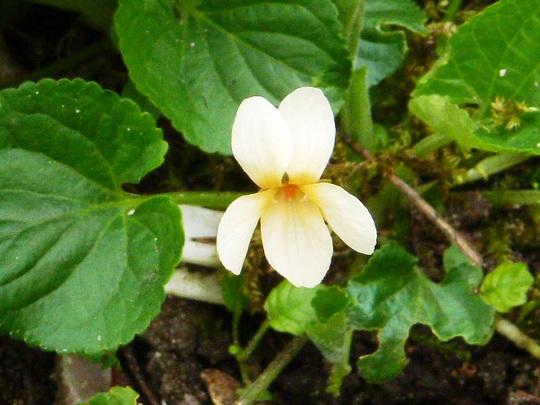 Wild_violets_lemon_.