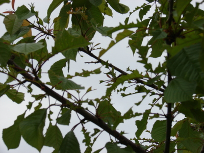 Cherry_tree_leaves