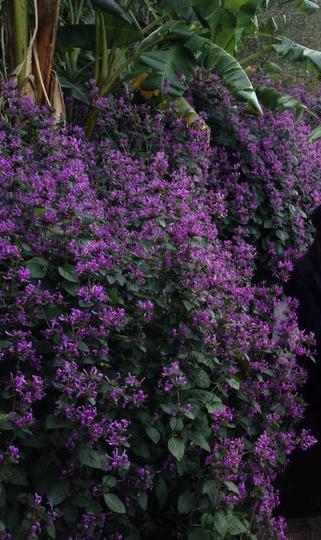 Purple_shrub_from_australia