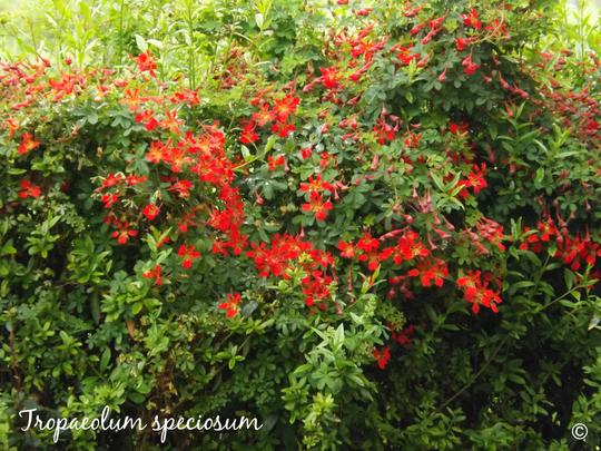 Tropaeolum_speciosum