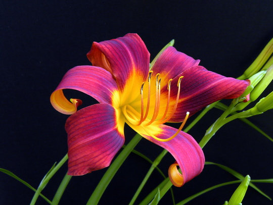Red_lily_011