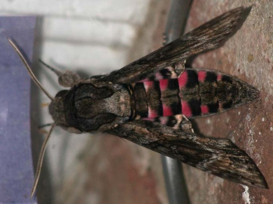 Pinkspotted_hawkmoth_helen