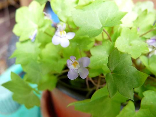 Brownie_flower