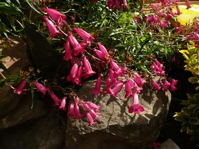 Pink_shrub_002