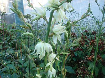 Ivory_flower_tall_stalks