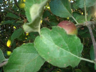 Apple_leaves