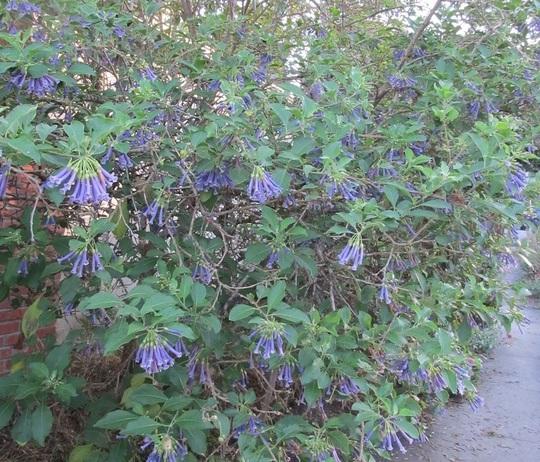 Bluebell_tree