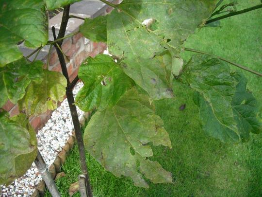 Eaten_leaves