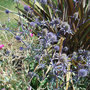 Sea-holly-for-web