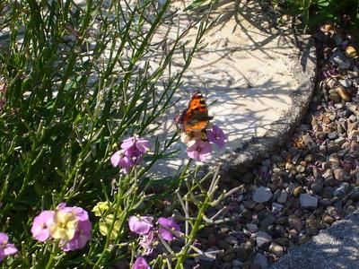 Erysimum_butterfly_001