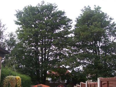 Ill_sycamore_tree