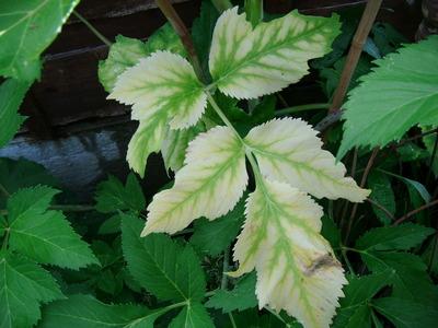 Agelica_leaf