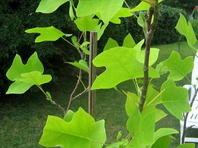 Ornamental_or_fruit_tree2