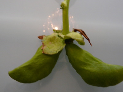 Seed_pod_from_louise_001