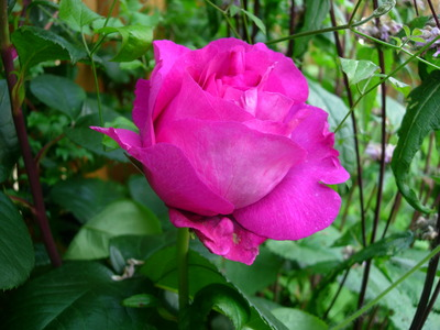 Unknown_climbing_rose
