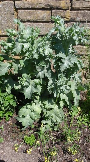Lettuce_plant