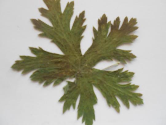 Blue_geranium_leaf