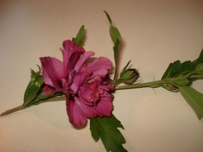 New_deep_pink_flower_tree
