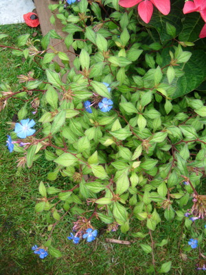 Blue_flower_shrub