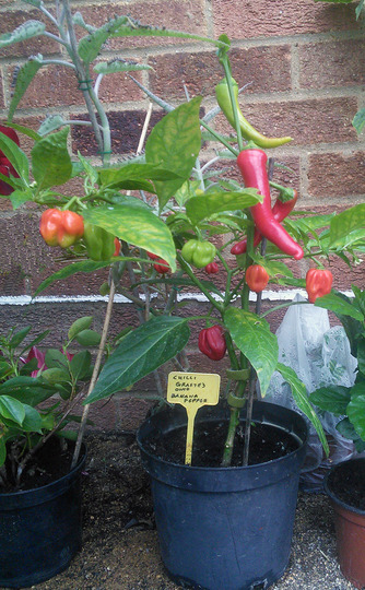 Grafted_chilli
