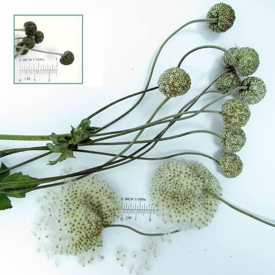 Giant_japanese_anemone_seed_heads
