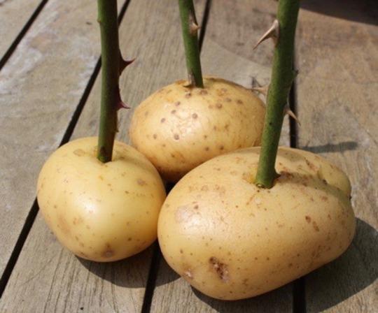 Img_potato_rose
