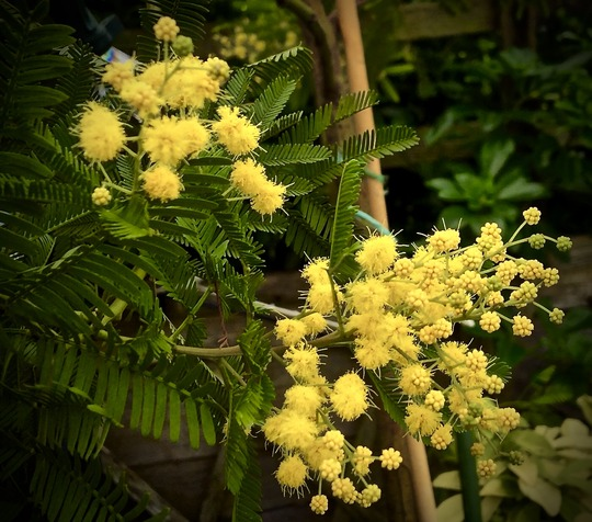 Hi All I Have A Beautiful Acacia Dealbata Mimosa Tree In A Large