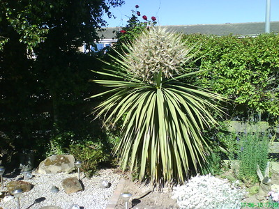 Cabbage_palm_in_flower_2