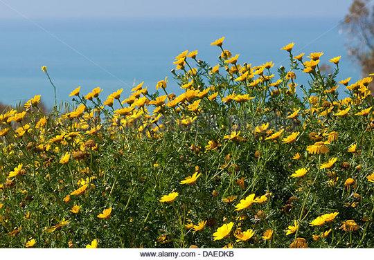 Crown_daisy_garland_chrysanthemum_chrysanthemum_coronarium_blooming_daedkb