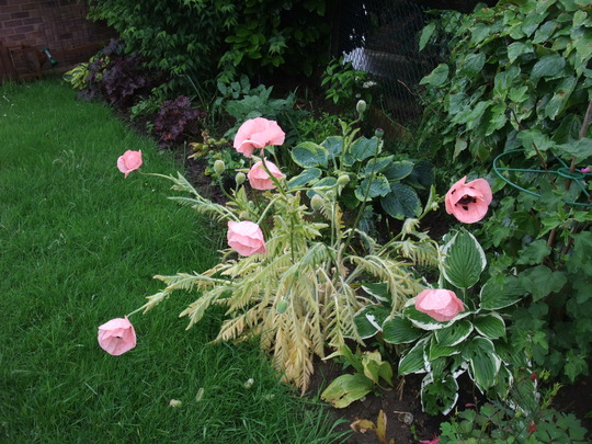 Poppies_in_the_rain_001