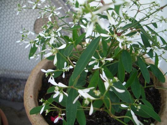 White_flowers_002