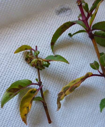 P1030682fuchsia_leaves