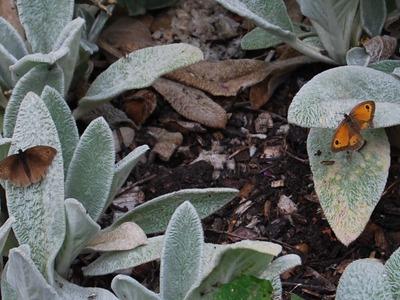 0223_hillier_gardens_centenary_border_gatekeeper_butterflies_8_aug_10