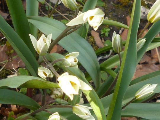 Tulip_biflorus