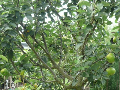 Fruit_trees_plants_002