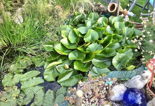 Pond_lily