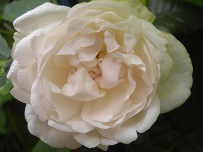 Rose_190810_002