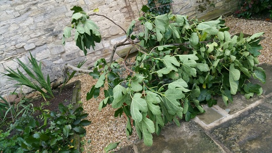 Fig_tree_down