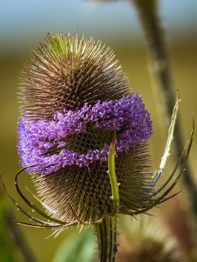 Wild_flower