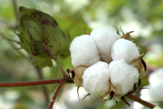 Cotton_ball1