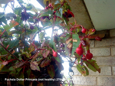 Fuchsia_dollar_princess_not_healthy_27th_august_2010