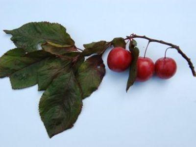 Cherry_plum1