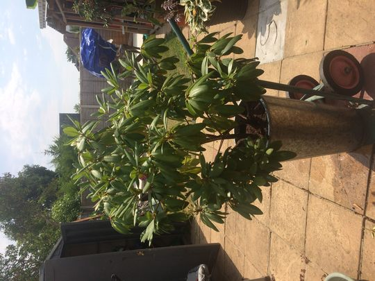 Rhodedendron_july_2018_after_feed_and_pruning