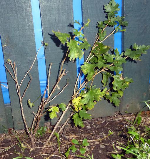 Complete_gooseberry_plant_sml