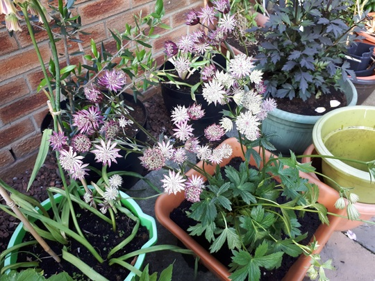 Resized_astrantia