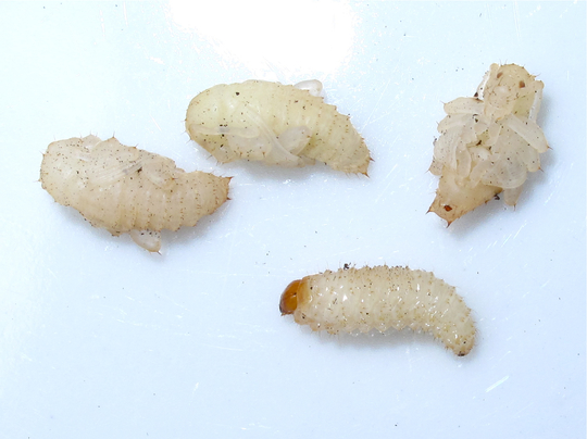 Vine_weevil_larvae_and_pupae