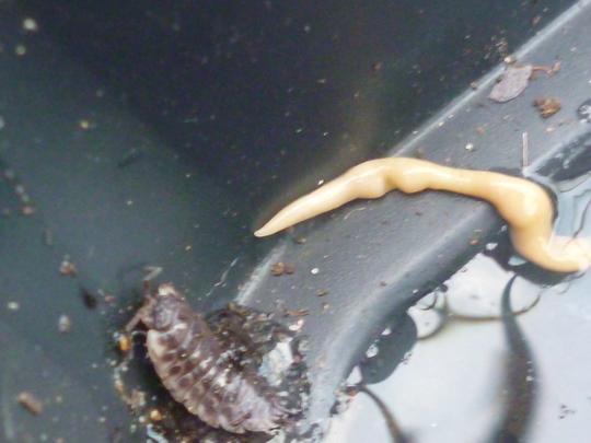 Microplana_scharffi_flat_worm.