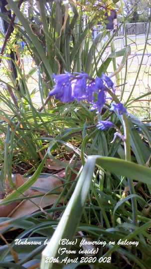 Unknown_bulb_blue_flowering_on_balcony_from_inside_20th_april_2020_002_cropped_