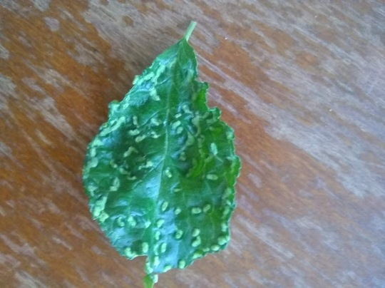 Plum_leaf