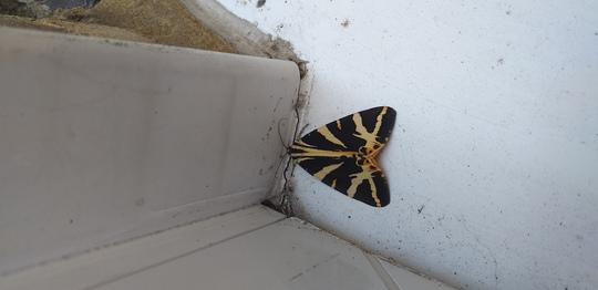 Garden_moth_1_